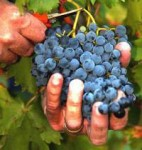 Praca Niemcy przy zbiorach winogron bez znajomości języka Pforzheim