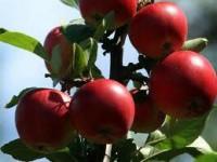 Praca w Norwegii przy zbiorach jabłek bez znajomości języka Elverum