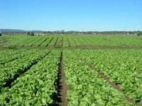 Dam pracę w Anglii przy zbiorach warzyw bez języka w rolnictwie Skelmersdale
