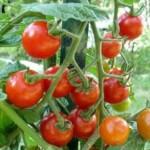 Praca Holandia Haga od zaraz bez znajomości języka przy zbiorach pomidorów