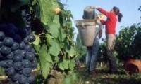 Praca w Anglii dla Polaków przy zbiorach winogron od września Alfriston