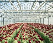 Holandia praca w Rijsenhout bez języka w ogrodnictwie przy kwiatach w szklarni