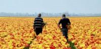 Holandia praca w ogrodnictwie przy kwiatach bez znajomości języka 2015