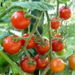 Sezonowa praca w Niemczech przy zbiorach pomidorów bez języka od zaraz