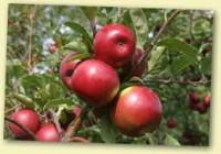 Sezonowa praca Holandia przy zbiorach jabłek bez znajomości języka Rilland