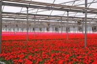 Oferta pracy w Holandii bez języka w ogrodnictwie przy kwiatach Delfgauw