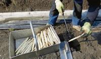 Niemcy praca w Berlinie bez znajomości języka przy zbiorach szparagów