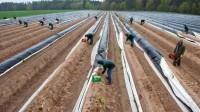 Francja praca sezonowa przy zbiorach szparagów dla Polaków bez języka