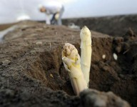 Praca w Niemczech przy zbiorach szparagów bez znajomości języka Mötzow