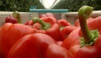 Oferta pracy w Holandii bez języka w ogrodnictwie przy papryce Baarlo