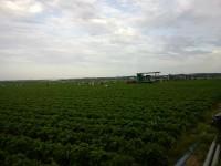 Dam sezonową pracę w Holandii przy zbiorach warzyw i owoców bez języka