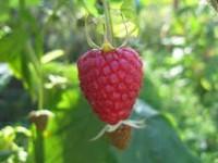 Dam sezonową pracę w Anglii przy zbiorach owoców malin Ringwood od zaraz