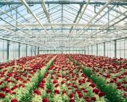 Ogłoszenie pracy w Holandii ogrodnictwo przy kwiatach bez znajomości języka