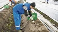 Holandia praca przy szparagach od zaraz zbiory, Van Mejl