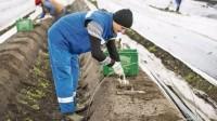 Niemcy praca sezonowa od zaraz bez znajomości języka zbiory szparagów Brema dla mężczyzn