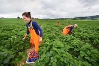 Ogłoszenie sezonowej pracy w Norwegii bez języka zbiory truskawek, malin Kongsvinger