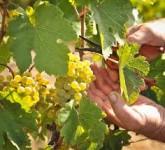 Bez języka ogłoszenie pracy we Francji w rolnictwie od zaraz przy winoroślach dla Polaków