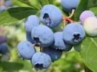Sezonowa praca Anglia zbiory owoców miękkich bez języka od zaraz Peterborough