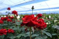 Ogrodnictwo oferta pracy w Holandii przy kwiatach w szklarni Westland