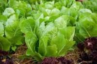 Bez języka oferta sezonowej pracy w Niemczech od zaraz zbiory sałaty i kapusty Eberswalde