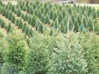 Sezonowa praca w Danii jako pracownik leśny – wycinka choinek, Viborg
