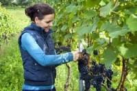 Winobranie – Francja praca sezonowa przy zbiorach winogron 2016