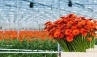 Praca w Holandii na szklarni przy kwiatach od zaraz, Naaldwijk