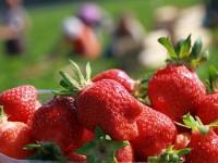 Bez języka praca w Niemczech dla par od kwietnia zbiory truskawek Lüdinghausen
