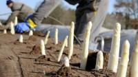 Sezonowa praca sezonowa w Anglii przy zbiorze ręcznym szparagów na polu, Ross-On-Wye