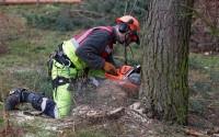 Od zaraz Dania praca w leśnictwie przy wycince jodły bez języka Hobro 2017