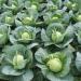 zbiory kapusty warzyw Francja 2017