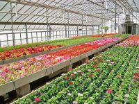 Holandia praca sezonowa przy zbiorach kwiatów lilii, tulipanów od zaraz Beilen