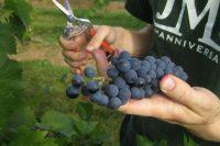 Francja praca bez znajomości języka przy zbiorach winogron od września 2017