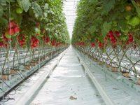 Dam sezonową pracę w Holandii przy zbiorze pomidorów szklarniowych 2018 Luty-Marzec