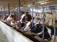 Rolnictwo praca w Danii bez znajomości języka przy hodowli krów od lutego Viborg