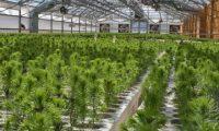 Sortowanie sadzonek na hali – praca fizyczna w Danii, Jutlandia 2018