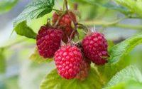 Ogłoszenie pracy w Anglii przy zbiorach truskawek i malin bez języka Faversham 2020