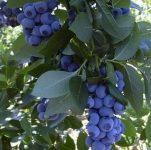 Sezonowa praca w Holandii 2018 – zbiory owoców borówki amerykańskiej