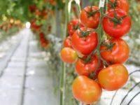 Od zaraz oferta w Holandii przy zbiorach papryki i pomidorów bez języka Venlo
