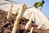 Zbiór szparagów – Holandia praca sezonowa na polu, Limburgia
