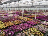 Holandia praca w ogrodnictwie praca przy kwiatach doniczkowych, Limburgia