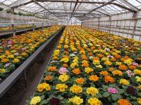 Od zaraz dam pracę w Holandii przy kwiatach w ogrodnictwie od zaraz, Venlo