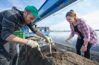 Zbiór szparagów od zaraz sezonowa praca w Holandii na polu w Limburgii 2018