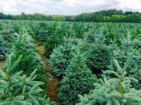 Sezonowa praca w Danii w leśnictwie przy choinkach od listopada 2018 Jutlandia