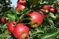 Praca sezonowa przy zbiorach jabłek w Neul, Irlandia 2018