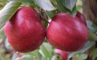 Od zaraz praca Anglia bez znajomości języka przy zbiorach jabłek Wisbech