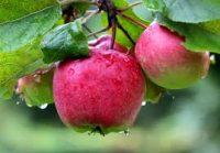 Dam sezonową pracę we Francji przy zbiorze jabłek z zakwaterowaniem bezpłatnym