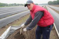 Zbiór szparagów sezonowa praca w Holandii na polu Limburgia 2018