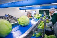 Dania praca na produkcji od zaraz przy pakowaniu sałaty bez języka, Zelandia