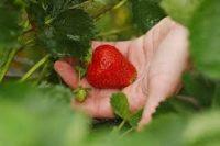 Niemcy praca sezonowa zbiory truskawek bez języka czerwiec 2019 Neuenstadt am Kocher